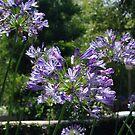 Purple in CA by Karen Checca