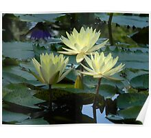 Water Lily Portraits Poster