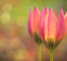 Species Tulips by Beth Mason