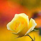 solstice rose... by Allan  Erickson