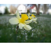 Daffodils with Street Scene (Soft Focus) Photographic Print