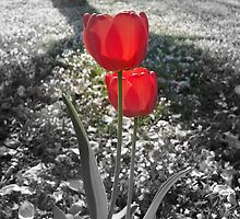 Tulips with Light Shining Through (Black and White with Color Focus) by CrystalFanning