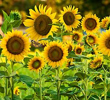 Field of Sunflowers by Bonnie T.  Barry