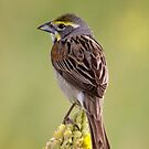 Dickcissel by Anthony Roma