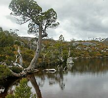 Pencil Pine at the Wombat Pool, Cradle Mountain, Tasmania, Australia. by kaysharp