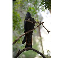 Red Tailed Black Cockatoo Photographic Print