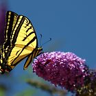 Double Swallowtail Butterfly - Vernon, B.C. by Heather  Hess