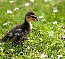 Duckling by Ashley Crombet-Beolens