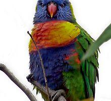 Rainbow Lorikeet by sedge808