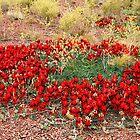 Sturt's Desert Pea Plant by Carole-Anne