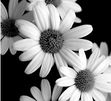 Daisy Bunch by appfoto