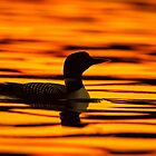 Loon at Sunrise by Daniel  Parent