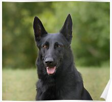 Black German Shepherd II Poster