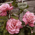 Vintage Roses by Vicki Spindler (VHS Photography)
