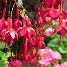 Red on Red Fuchsias by Pat Yager