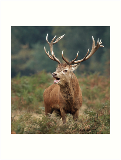Bellowing Red Stag by Patricia Jacobs CPAGB LRPS BPE3