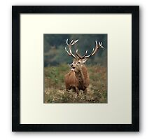 Bellowing Red Stag Framed Print