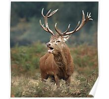 Bellowing Red Stag Poster
