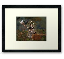 Majestic Red Deer Framed Print