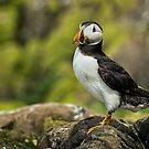 Puffin  by FranJ