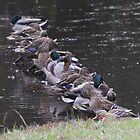 Ducks in a Row by Pamela Kadlec