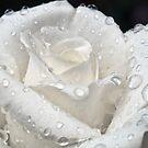 White Rose After The Rain by Eddie Yerkish