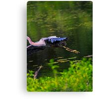 Great Blue Hero... Canvas Print