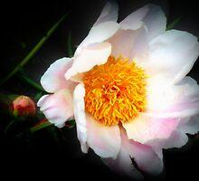 Soft Pink Peony by kkphoto1