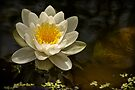 """POND LILLY- """" Queen Of Whites"""" by Sandy Stewart"""
