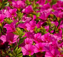 Garden flower box of petunias by Lisa Kyle Young