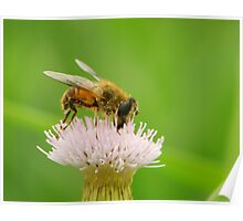 hoverfly and thistle Poster
