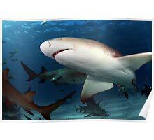 Lemon Shark Poster