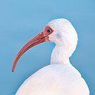 Ibis by Beth Mason