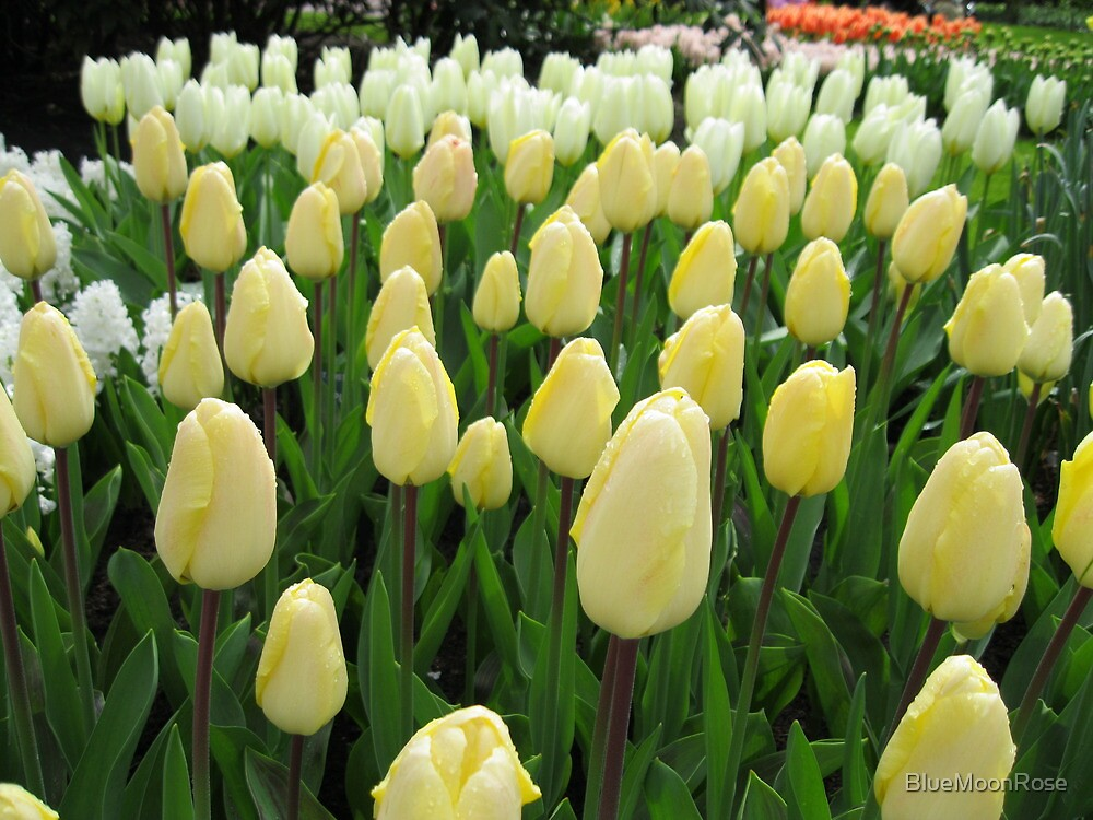 Pale Fire - Tulips in the Keukenhof Gardens by BlueMoonRose
