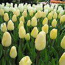 Pale Fire - Tulips in the Keukenhof Gardens by BlueMoonRose