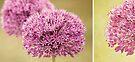 Alliums by Anne Staub