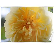 Large yellow Dahlia flower Poster