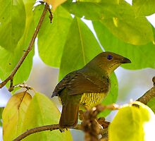 australia birds - the bower bird ( female) by houenying