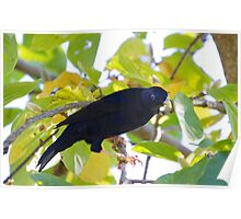 australia birds - the satin bower bird Poster