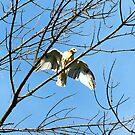 Juvenile Redtail Hawk by Ron Russell