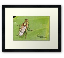 Dung fly Framed Print