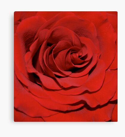 Beautiful Red Rose Canvas Print