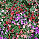 Impatiens Flowers by Jonathan  Green
