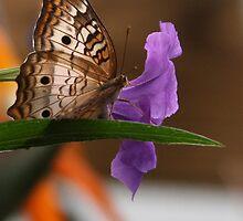 White Peacock Butterfly #2 by Paula Tohline  Calhoun