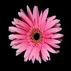 Pink Gerber Daisy Portrait by chris kusik