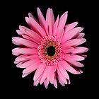 Pink Gerber Daisy Portrait by chris kusik