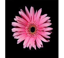 Pink Gerber Daisy Portrait Photographic Print