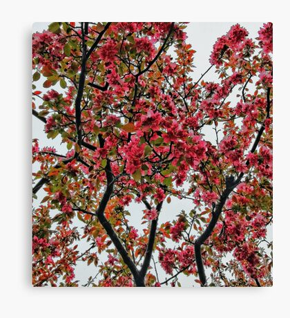 Apple Blossoms - Cloudy Day Canvas Print