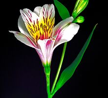 White Peruvian Lily Portrait. by chris kusik