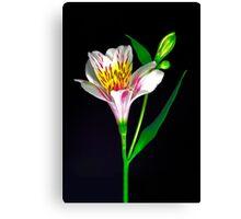 White Peruvian Lily Portrait. Canvas Print